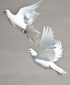 White doves are my favorite birds. Also a sign of Gods peace. Love Birds, Beautiful Birds, Animals Beautiful, Cute Animals, Dove Pigeon, White Pigeon, White Doves, Shades Of White, Bird Feathers