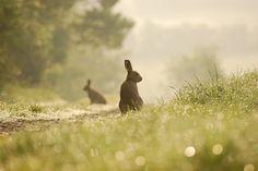 Irish Hare by bmenton