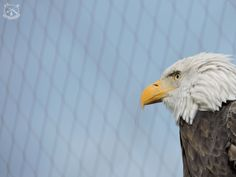 An Ecomuseam Zoo? An Example To Follow or A Waste of Time? Part 2 Animals Beautiful, Bald Eagle, Photography, Cutest Animals, Photograph, Fotografie, Photoshoot, Fotografia