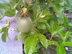 O chá das folhas de maracujá mantém muitos dos benefícios à saúde encontrados na fruta, e ainda pode ser utilizado no combate a vícios como o alcoolismo.