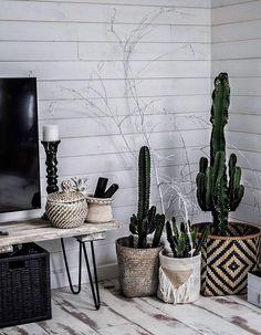 Cactus dans des pani