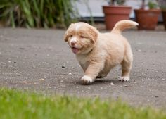 Looks like it has a human face Chubby Puppies, Dogs And Puppies, Doggies, I Like Dogs, Cute Dogs, Happy Puppy, Puppy Love, All Things Cute, Australian Shepherd