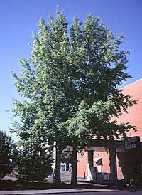 Trident Maple...on of our Favorites! http://www.jfschmidt.com/articles/great_pick_buergeranum/
