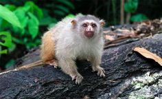 Like many of the Marmosets, the Manicore Marmoset dwells primarily in the canopy of the Brazilian rainforest.