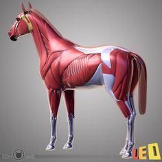 3d horse anatomy