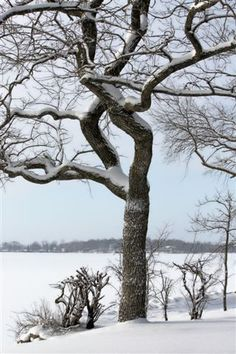 A beautiful snow covered tree at the edge of one of Minnesota's 10,000 frozen lakes. #Winter #Tree