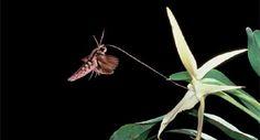 Darwin's+Hawk+Moth.jpg (388×209)
