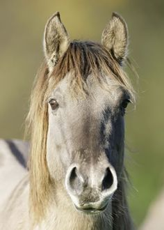 Rare horse breed proves to be crucial to delicate ecosystem -- Koniks are related to extinct tarpans.