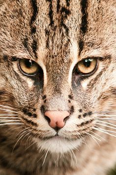 """id-rather-be-free: """"Fishing Cat at NZ F LR (by sunspotimages) """" Small Wild Cats, Big Cats, Cats And Kittens, Wild Cat Species, Endangered Species, Beautiful Cats, Animals Beautiful, Cute Funny Animals, Cute Cats"""