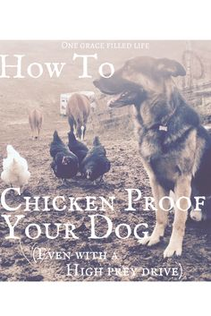 How to Chicken Proof Your Dog! Dog training, training your dog not to kill chickens!