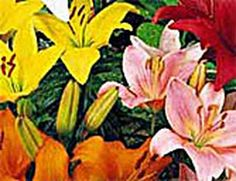 Basic Info on growing/planting lilies