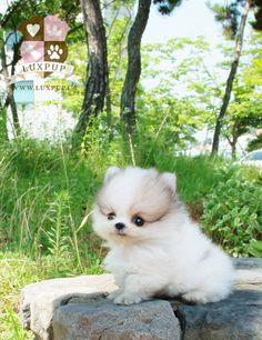 Parti Color Pomeranian …