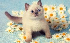 Télécharger fonds d'écran Chat siamois, camomille, chaton, animaux de compagnie, des animaux mignons, des chats, Siamois