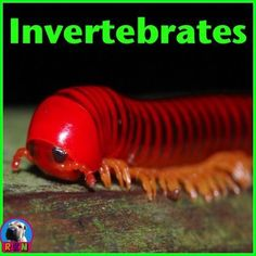 Invertebrates: Non Fiction Resources This informative and dynamic PowerPoint presentation illustrates and explains the invertebrates'. - Classification - Appearance - Bodies - Metamorphosis or growth stages, and much more! The presentation ends with Elementary Science, Science Education, Elementary Schools, Upper Elementary, Science Lessons, Science Activities, Classroom Activities, Life Science, Science Fun