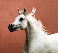 Horse Pedigree Database | Ansata Sharifa | Arabian, Egyptian