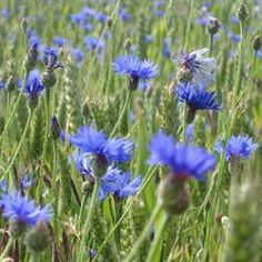 Kornblomst 'Blue Boy' Centaurea cyanus