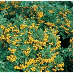 Pyracantha 'Soleil d'Or' Climbing Plant. Evergreen Climbing Plants, Flowering Vines, Garden, Flowers, Plants, Climbing Flowering Vines, Garten, Florals, Gardens