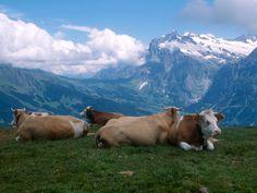 Happy cows in Alps