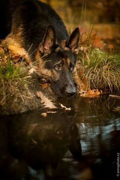 Pensive German shepherd