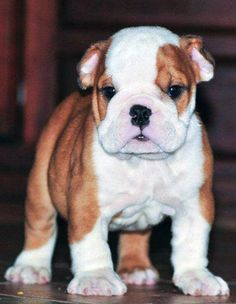 English Bulldog puppy ~ WorldofBulldog