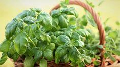 6 pravidel, jak pěstovat bazalku pravou(Ocimum basilicum) a bazalku svatou Tulsi + recepty s bazalkou + odrůdy bazalky