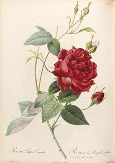 Redouté, Pierre Joseph and C.L. Thory. LES ROSES. PARIS: FIRMIN DIDOT, 1817–1824.