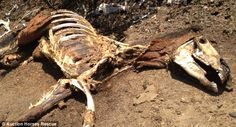 Sickening images of former racehorses found malnourished, injured and dead at ranch near Los Angeles after months of neglect and abuse
