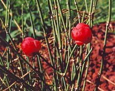 Ma-huang (Ephedra sinensis), packet of 50 seeds for $3.95 Is it ok that it is Ephedra sinensis not herba?