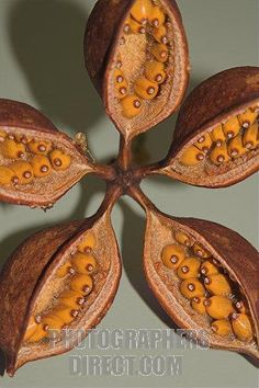 seed pod identification | Seed Pods of the Kurrajong Tree ( Brachychiton populneum ) It is ...
