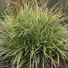 Carex morrowii 'Ice Dance' Japansk starr