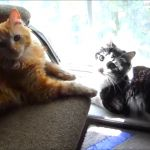 Miracle cat Anakin, born without a pelvis or hind legs, and new rescued brother Mika, missing past of his hind legs, are playing around The Favorite Chair.