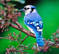 Blue Jay - Cross Stitch Chart #ebay #Home & Garden