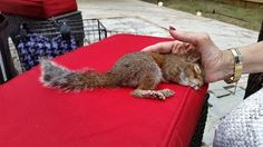 """Baby Squirrel Who Can't Walk Loves Snuggling With His New Family  -  """"Rescued"""" by people who fed him an inadequate diet he developed partial paralysis. Now he lives happily with a qualified wildlife specialist and another squirrel with mobility issues."""