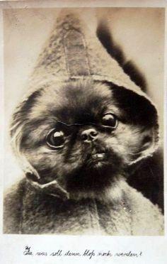 Peke puppy in a hoodie!