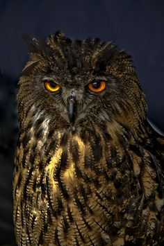 European Owl now re introduced in the UK (by DWImages-Daniela White)