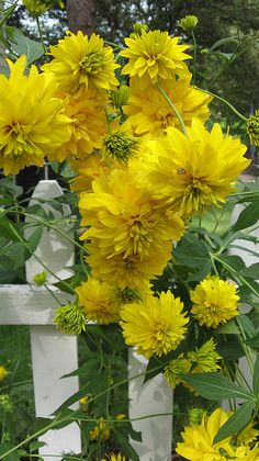 beautiful...tall yellow flowers growing along a picket fence.