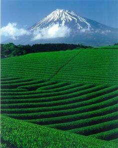Green Tea with Mt. Fuji
