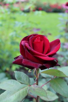 'Barkarole' | HT rose. Bred by Hans Jürgen Evers (Germany, 1988) | Flickr - © Lilja Sirpale