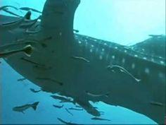 Ζώα & Ψάρια της Θάλασσας - Φαλαινοκαρχαρίας Whale, Youtube, Animals, Whales, Animales, Animaux, Animal, Animais, Youtubers