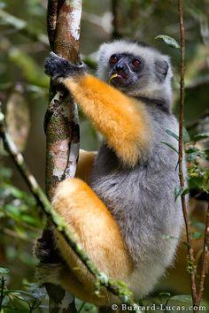 Photo Explorer by Will Burrard-Lucas Primates, Mammals, Baby Exotic Animals, Exotic Pets, Lemur, Wild Life, Monkeys, Wildlife Photography, Origins