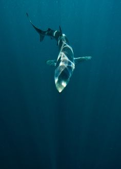 """""""Sharks in SoCal by helenbrierley"""""""