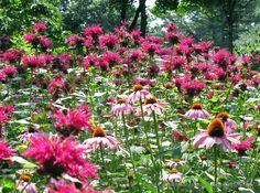 This stunning combination of native coneflower and beebalm attract polinators of all sorts - butterflies, hummingbirds, moths and bees...  Echinacea purpurea 'Magnus' - Purple coneflower USDA Zones 3-9  Monarda 'Raspberry Wine' - Bee balm - USDA Zones 3-8  Austin Ganim Landscape Design, LLC