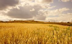Free Image on Pixabay - Yellow, Wheat, Field, Clouds, Sky Yellow Cloud, Grey Clouds, Wheat Fields, Great Stories, Book Of Life, In The Flesh, Public Domain, Free Pictures, View Image