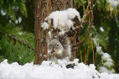 Squirrel North Lake Tahoe. California. 2017.