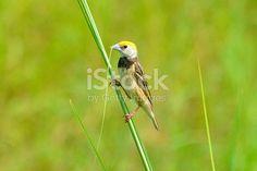 The black-breasted weaver, also known as the Bengal weaver or black-throated weaver , is a weaver resident in the northern river plains of the Indian subcontinent. Like the other weavers, the males...