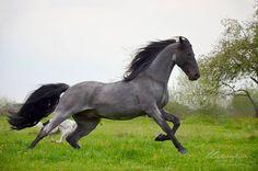 TWH Stallion,