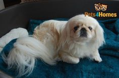 Beautiful pekingese girl!: Fu Dog, Dog Pee, Best Dog Food, Best Dogs, Puppies For Sale, Dogs And Puppies, Large Animals, Cute Animals, Tiny Monkey