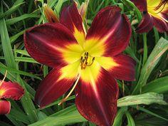 Daylily Persian Ruby
