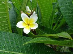 Balinese Flowers Indonesian
