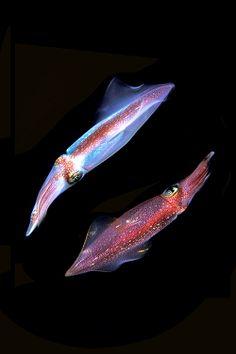 #squid - (Loligo vulgaris)